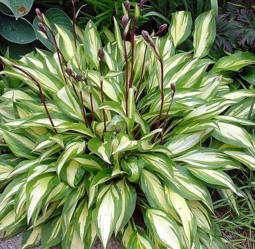 Хоста Hosta Cherry Berry