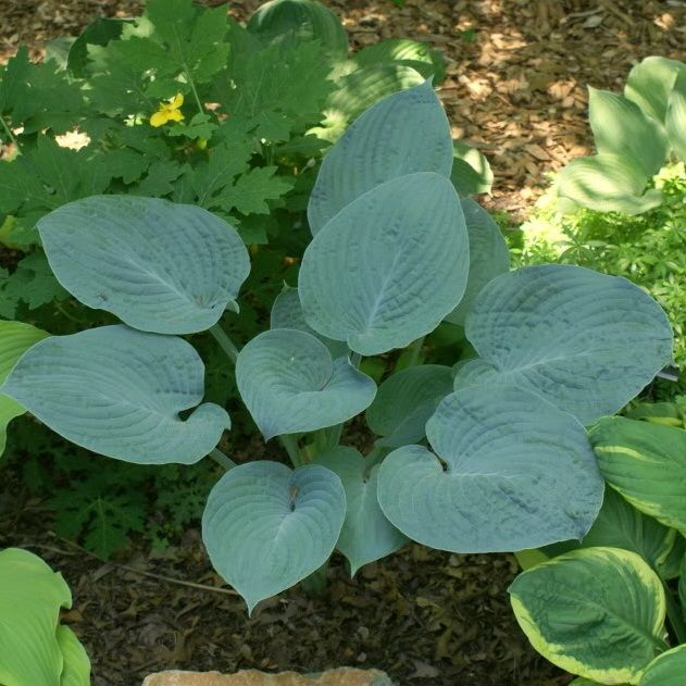 Хоста (Hosta) Blue Hawaii